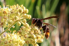 4. During an Asian hornet Contingency Response