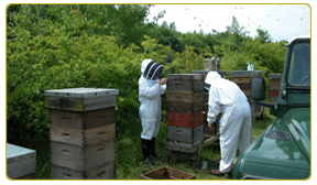Beekeepers surrounded by beehives in a field