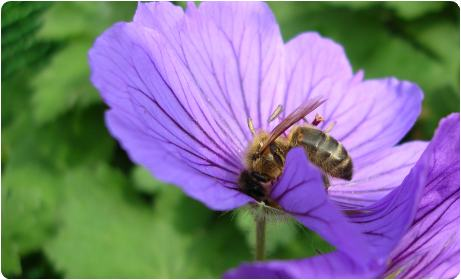 Bee foraging for honey on geranium